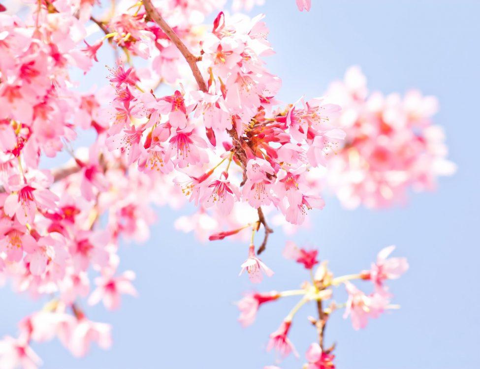 桜ソング・春の歌まとめ15曲!出会いや別れの季節にぴったりの音楽を紹介